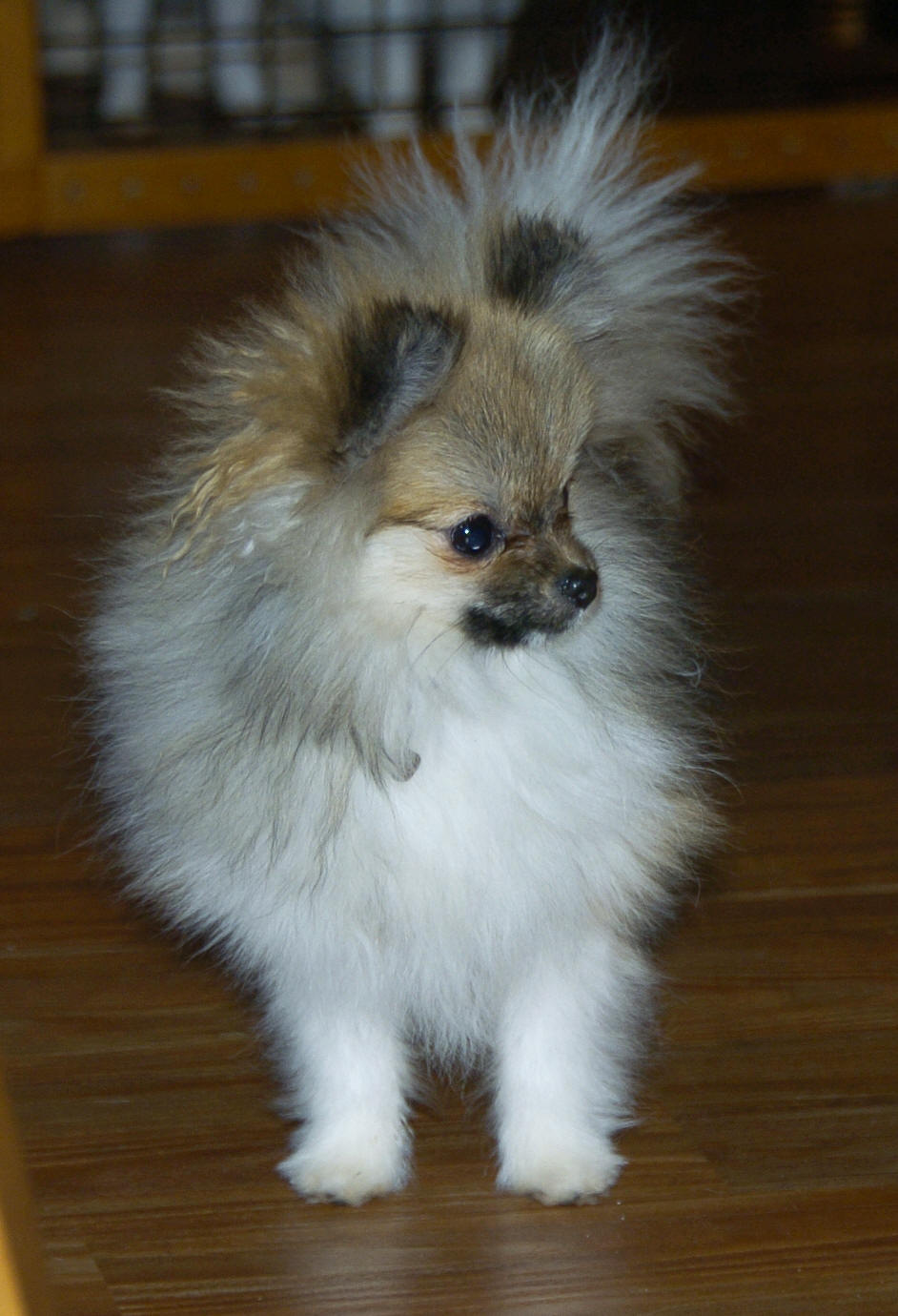 Beaver Creek Pomeranians ~Oregon~ Diva